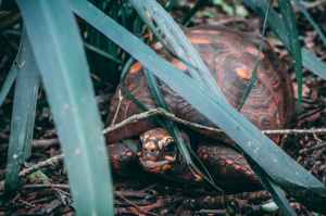 close up photography of tortoise near leaves